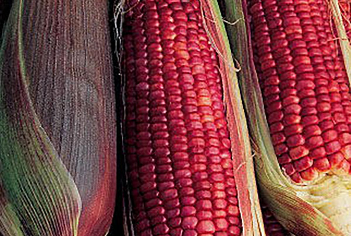 Ruby Red Corn